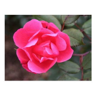 Autumn Rose Postcard