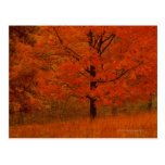 Autumn tree with red foliage post card