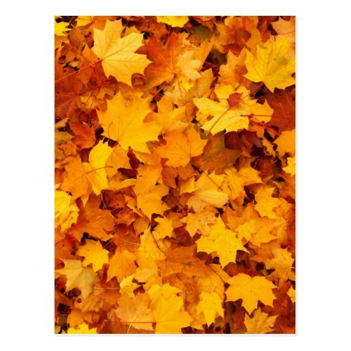 Autumn Yellow Maple Leaves Post Cards