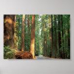 Avenue of The Giants, Humboldt, CA Print