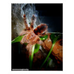 Avicularia minatrix plakat