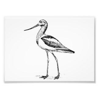 Avocet Bird Drawing Photo Print