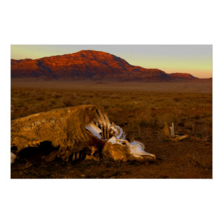Awesome Dead Cow at Sunset Poster