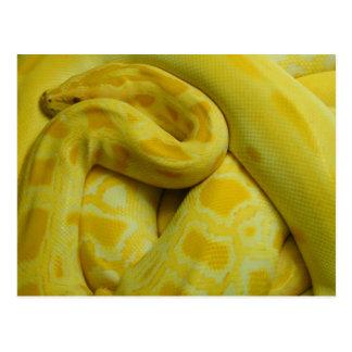 Awesome Yellow Burmese Python Postcard