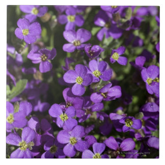 'Axcent Lilac' (Aubrieta hybrid) Large Square Tile