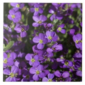 'Axcent Lilac' (Aubrieta hybrid) Tile