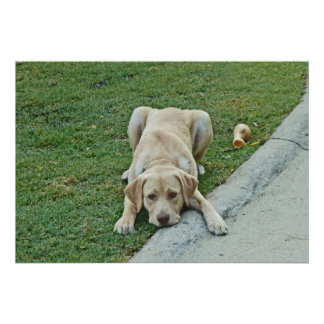 AY- Yellow Labrador Puppy Pouting Poster