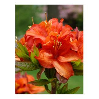 AZALEA FLOWERS 14 Orange Azaleas Cards Gifts Mugs Postcard