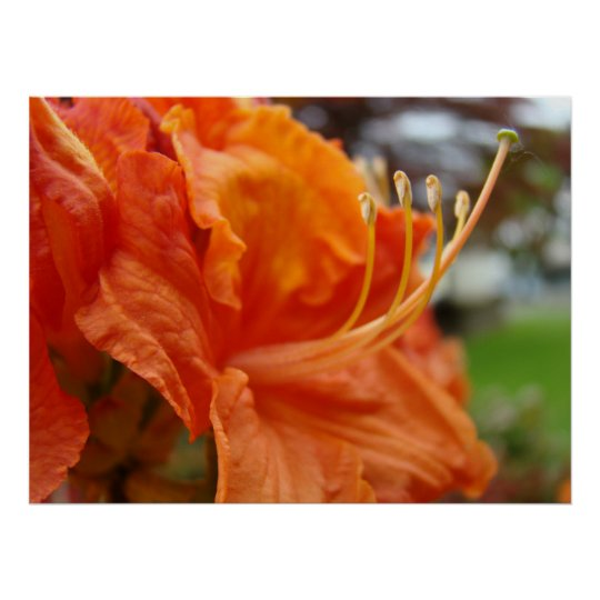 Azalea Flowers 6 Orange Rhodies Art Prints Posters