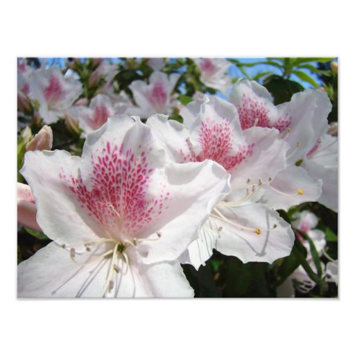 Azalea Flowers Garden Photography Florals Photograph