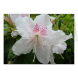 AZALEA FLOWERS White Azaleas Cards Gifts