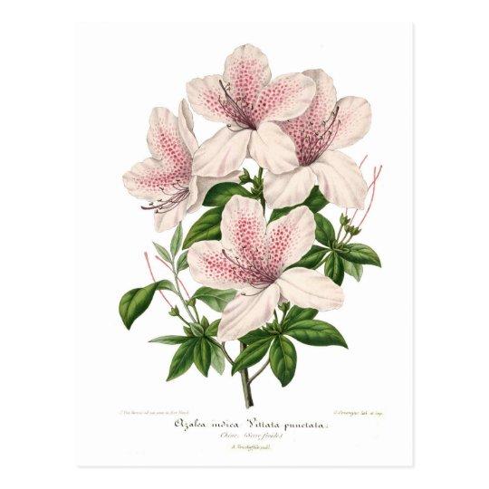 Azalea indica - vittata punctata postcard