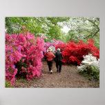 Azaleas at the National Arboretum - Washington, DC Posters
