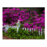 Azaleas in the spring at Historic Isle of Hope Postcard