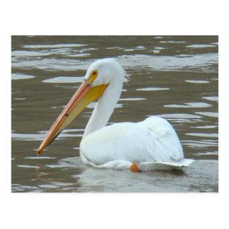 B0015 American White Pelican Postcard