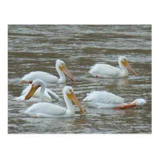 B0016 American White Pelicans Postcard