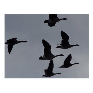 B0046 Canadian Geese in Flight Postcard
