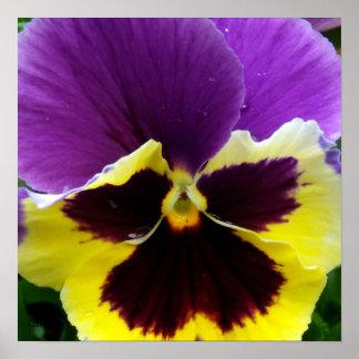 b1 Purple Yellow Purple Pansy Poster