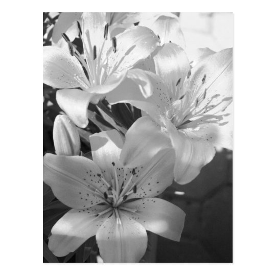 b&w lillies postcard
