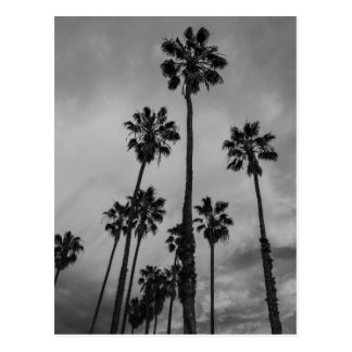 B&W Los Angeles palms Postcard