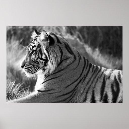 B&W Tiger Profile Photo Poster