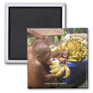 Babies & Bananas in Borneo Square Magnet