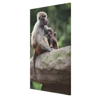 Baboon mother nursing her young stretched canvas print