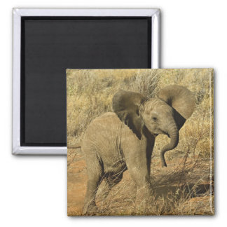 Baby African Elephant, Loxodonta Africana, Magnet