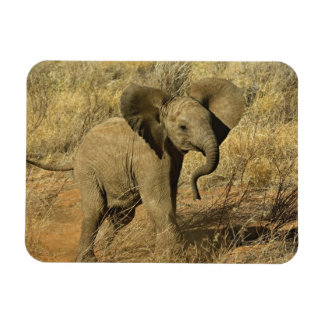 Baby African Elephant, Loxodonta Africana, Magnets