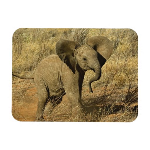Baby African Elephant, Loxodonta Africana, Magnets