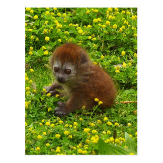 Baby Alaotran Gentle Lemur Postcard