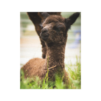 Baby Alpaca Canvas Canvas Print