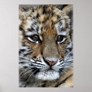 Baby Amur Tiger Cub Portrait Poster