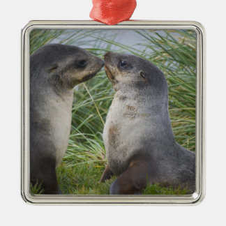Baby Antarctic Fur Seal Arctocephalus Silver-Colored Square Decoration
