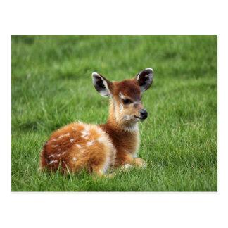 Baby Antelope Postcard