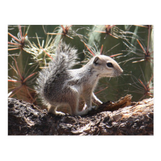 Baby Antelope Squirrel Postcard