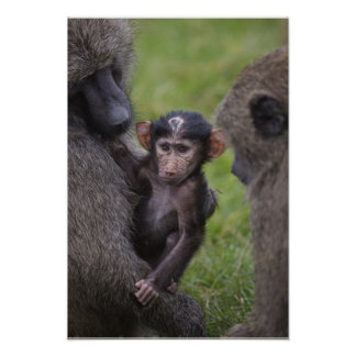 Baby Baboon Being Introduced To His Dad Poster