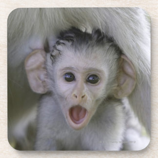 Baby baboon underneath its mother coaster