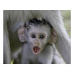 Baby baboon underneath its mother poster