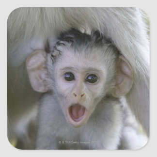 Baby baboon underneath its mother square sticker