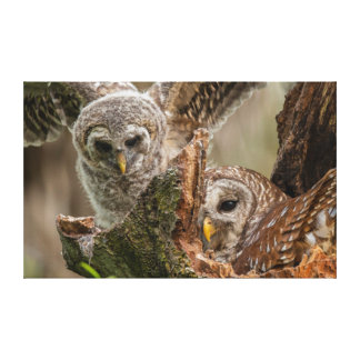 Baby Barred Owl, Strix varia Canvas Print