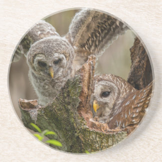 Baby Barred Owl, Strix varia Coaster