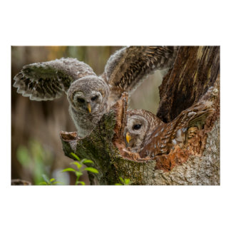 Baby Barred Owl, Strix varia Poster