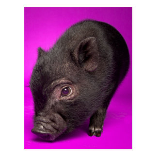 Baby Black Pig Postcard