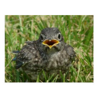 Baby Bluebird Postcard