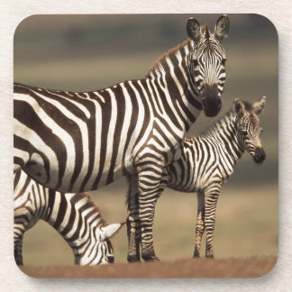Baby Burchell's Zebra with mother Coaster
