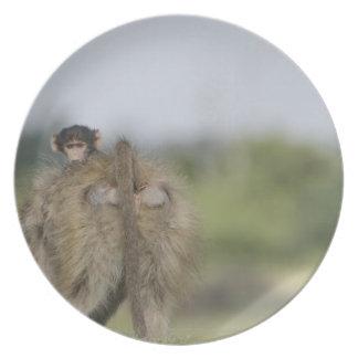 Baby Chacma Baboon (Papio ursinus) riding Dinner Plates