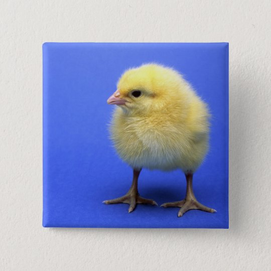 Baby chicken. 15 cm square badge