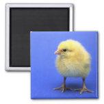 Baby chicken. fridge magnet