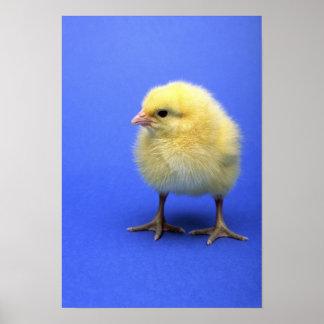 Baby chicken print